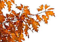 Листья дуба осени Стоковое Изображение RF