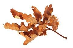 Листья дуба осени Стоковые Фото