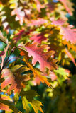 Листья дуба осени Стоковые Изображения RF