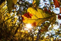 Листья дуба осени - Eiche im Herbst Стоковая Фотография RF