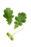 Листья дуба с жолудем Стоковые Фотографии RF