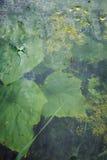Листья укропа и огурца в принуждать яму стоковое изображение rf