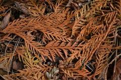 Листья упаденные желтым цветом дерева Cypress лежат на зеленой траве Стоковая Фотография