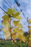 Листья усика лозы в осени Стоковое Изображение
