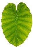 Листья уха слона Стоковое Фото