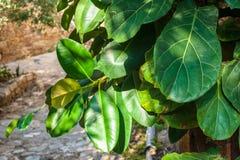 Листья фикуса Стоковое Изображение