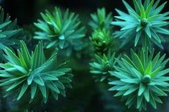 Листья хвойного дерева Стоковые Фотографии RF