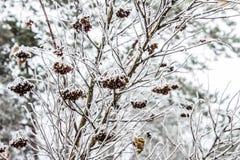Листья, хворостины и ягоды завода предусматриванные с толстым слоем предпосылки зимы заморозка против предпосылки голубые облака  Стоковое Изображение