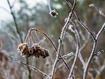 Листья, хворостины и ягоды завода предусматриванные с толстым слоем предпосылки зимы заморозка против предпосылки голубые облака  Стоковая Фотография