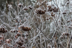 Листья, хворостины и ягоды завода предусматриванные с толстым слоем предпосылки зимы заморозка против предпосылки голубые облака  Стоковое Изображение RF
