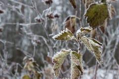 Листья, хворостины и ягоды завода предусматриванные с толстым слоем предпосылки зимы заморозка против предпосылки голубые облака  Стоковое фото RF