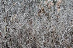 Листья, хворостины и ягоды завода предусматриванные с толстым слоем предпосылки зимы заморозка против предпосылки голубые облака  Стоковые Изображения