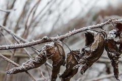 Листья, хворостины и ягоды завода предусматриванные с толстым слоем предпосылки зимы заморозка против предпосылки голубые облака  Стоковые Изображения RF