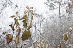 Листья, хворостины и ягоды завода предусматриванные с толстым слоем предпосылки зимы заморозка против предпосылки голубые облака  Стоковая Фотография RF