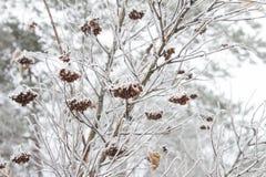 Листья, хворостины и ягоды завода предусматриванные с толстым слоем предпосылки зимы заморозка против предпосылки голубые облака  Стоковые Фотографии RF