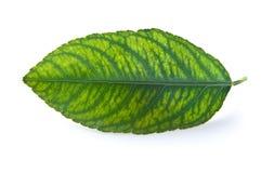 листья хлороза Стоковые Изображения