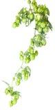 Листья хмеля на изолированном стержне Стоковое Изображение
