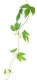 Листья хмеля на стержне Стоковое фото RF