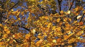 Листья цвета в осени сток-видео
