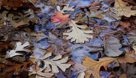 Листья цвета осени влажные. Стоковые Изображения