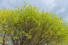 Листья цветеня Стоковое Фото