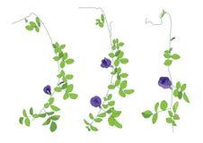 Листья цветков гороха цвета выровняли дизайн на белой предпосылке иллюстрация штока