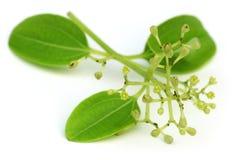 Листья циннамона с цветком Стоковые Изображения