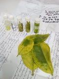 Листья цитруса зараженные с бактериальным заболеванием Стоковые Изображения RF