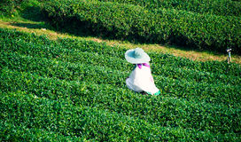Листья чая выбора женщины в парке сада Стоковые Изображения RF