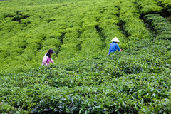 Листья чая выбора работника на плантации чая. LAT DA,  Стоковая Фотография RF