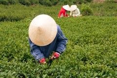 Листья чая выбора работника на плантации чая. LAT DA,  Стоковое Изображение