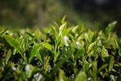 Листья чая в месте Lipton стоковая фотография