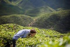 Листья чая женщины пахнуть Стоковое Изображение RF