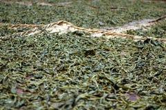 Листья чая засыхания Стоковое Изображение
