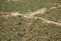 Листья чая засыхания Стоковая Фотография