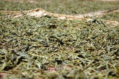 Листья чая засыхания Стоковое фото RF
