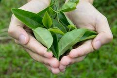 Листья чая крупного плана в руке Стоковое Изображение