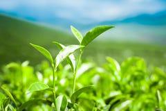 Листья чая на плантации. Индия Munnar, Керала стоковое фото rf