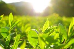 Листья чая, плантации чая, восход солнца Восход солнца на плантациях чая стоковые фотографии rf