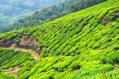 Листья чая рудоразборки на имуществе чая Kolukkumalai, Munnar, Керале, Индии стоковая фотография rf