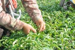 Листья чая рудоразборки работника в плантации чая Стоковая Фотография