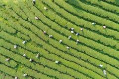 Листья чая рудоразборки работника женщины на плантации чая в севере Стоковые Фотографии RF