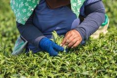 Листья чая рудоразборки работника женщины на плантации чая в Таиланде Стоковое фото RF