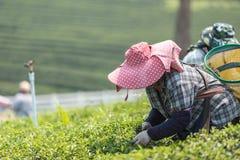 Листья чая рудоразборки работника женщины на плантации чая в Таиланде Стоковые Изображения