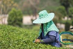 Листья чая рудоразборки работника женщины на плантации чая в Таиланде Стоковое Фото