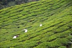 Листья чая рудоразборки работника чая в плантации чая Стоковые Изображения RF