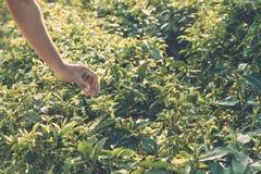 Листья чая сбора Выбирающ подсказку зеленого чая листайте человеческой рукой на холме плантации чая во время рано утром Стоковая Фотография