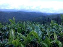 Листья чая стоковая фотография rf