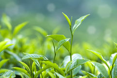 Листья чая Стоковые Фотографии RF