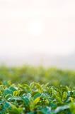 Листья чая Стоковое фото RF